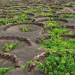 Royalty-Free Stock Photo: Volcanic soil vineyard, Lanzarote.