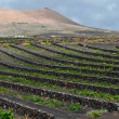 Volcanic soil vineyard, Lanzarote. — Stock Photo