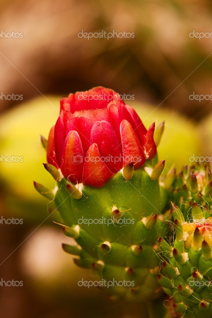 Red cactus flower getting ready to bloom. — Stock Photo #3739497