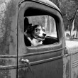 Dog in an Old Truck — Stock Photo