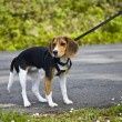 Beagle Puppy - Stock Photo