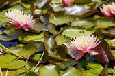 Rosa water lilly — Stockfoto