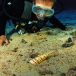 Diver with Auger Snail — Stock Photo