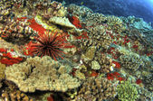 Slate Pencil Urchin on Coral Reef — Stockfoto