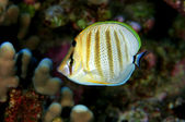 Multibanded Butterfly Fish — Stock Photo