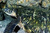 Groene zeeschildpad — Stockfoto