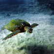 Stock Photo: Green SeTurtle