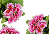 Pink flowers card — Stock Photo