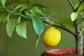 Lemon on lemon-tree — Stock Photo