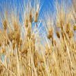 Wheat ears — Stock Photo #2761374