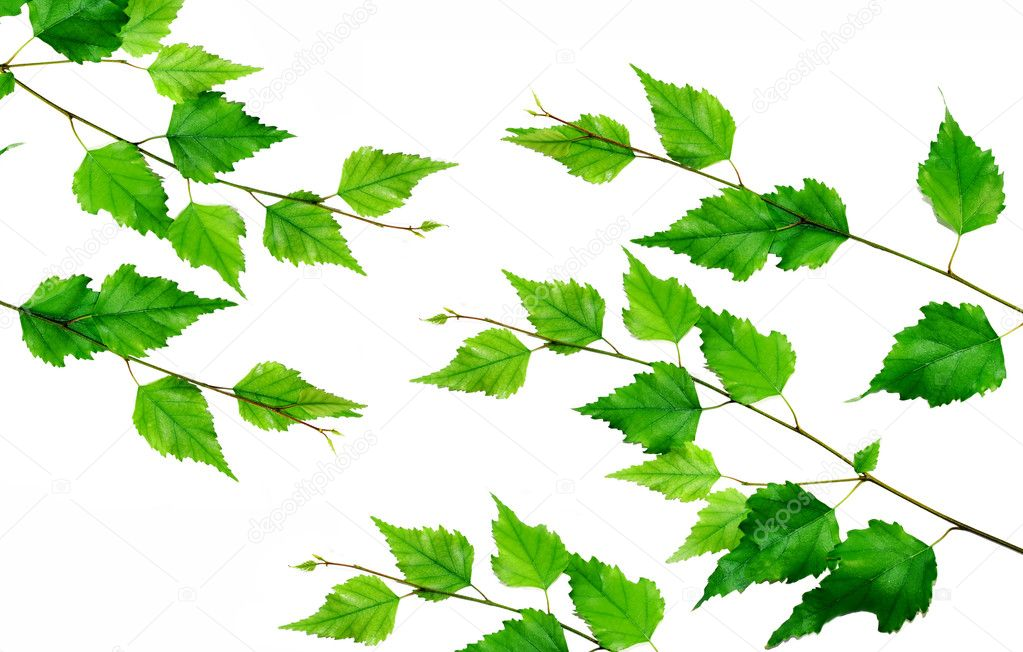 Green birch branch isolated over white background — Stock Photo #2846613
