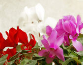 Cyclamen background — Stock Photo