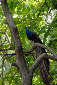 Peacock on tree — Stock Photo