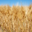 Wheat ears — Stock Photo #2865709