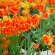 Orange tulips background — Stock Photo