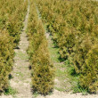 Thuja rows — Stock Photo