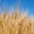 Wheat ears — Stock Photo #2884762