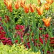 Sparrow among orange tulips — Stock Photo