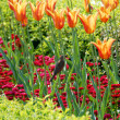 Sparrow among orange tulips — Stock Photo #2885170