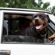 Stockfoto: Dog looking through car window