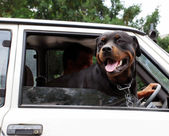 Dog looking through car window — Stockfoto