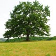 Sole oak — Stock Photo