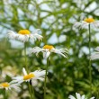 Summer daisies — Stockfoto