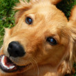 Golden retriever smiling — Stok fotoğraf