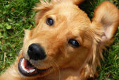 Golden retriever smiling — Foto Stock
