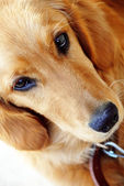 Golden retriever portrait — Stock Photo