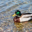 Usual Duck on water — Stock Photo