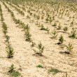 Stock Photo: Fir planting