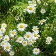 Summer daisy background — Stock Photo #2988360