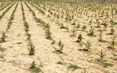 Fir planting — Stock Photo