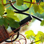 Wine bottle between vine leaves — Stock Photo