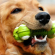 Golden retriever med leksak — Stockfoto