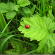 Ladybird over green leaf — Stock Photo