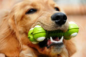 Golden retriever with toy — Photo