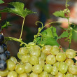 Постер, плакат: Grapes and vine plant