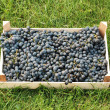 Blue grapes over green grass — Stock Photo