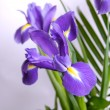 Irises - Foto Stock