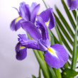 Royalty-Free Stock Photo: Irises