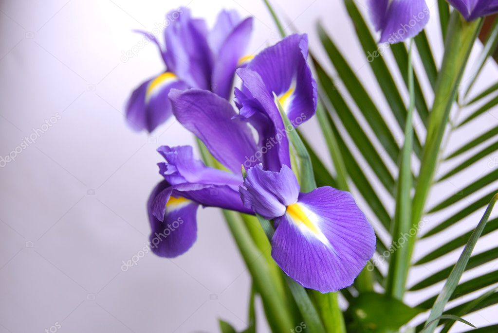 Spring purple flowers irises over white background — Stock Photo #3095837