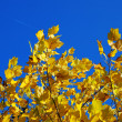 Yellow autumn leaves blue sky — Stock Photo #3148781