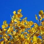 Yellow autumn leaves blue sky — Stock Photo #3148781