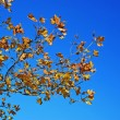 Yellow autumn leaves blue sky — Photo