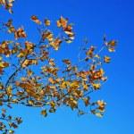 Yellow autumn leaves blue sky — Stock Photo #3179025