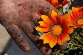 Orange flower in garden in dirty hand — Stock Photo