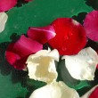 Rose petals background — Stockfoto