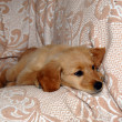 Small dog lying on sofa — Stock Photo